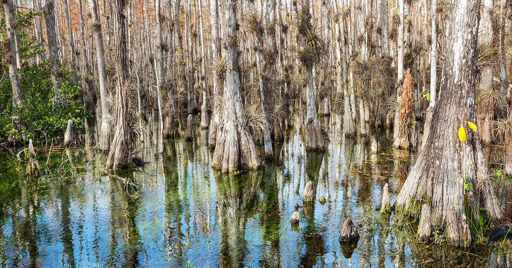 Cypress dome in Everglades National Park.